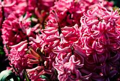 Slide copies 1990 (alh1) Tags: annaminenurseries fujichrome100 1990 box202 england march northyorkshire york copies slides transparencies hyacinth pink