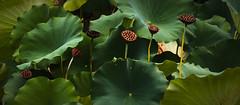 Velvet pods (Jerzy Orzechowski) Tags: leaves landscape plants pods shadow green kyoto lotus japan light