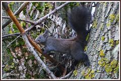 Ecureuil 191112-01-P (paul.vetter) Tags: écureuil mammifère sciuridé squirrel eichhörnchen ardilla
