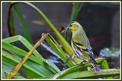 Tarin des aulnes 191112-01-P (paul.vetter) Tags: oiseau faune avifaune spinusspinus tarindesaulnes eurasiansiskin jilguerolúgano lugre erlenzeisig fringillidés