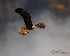 Fresh Catch... (DTT67) Tags: baldeagle eagle maryland conowingo canon1dxmkii 1dxmkii canon raptor bird nature wildlife