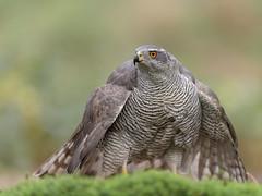 Havik, Northern Goshawk (Henk Laverman) Tags: winner havik vrouw vogel bosvogel roofvogel northerngoshawk bird birdeye birdofprey mantelen
