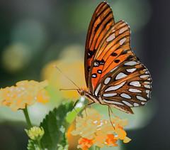 Sunlit Wings (ACEZandEIGHTZ) Tags: agraulisvanillae nikond3200 flyinginsect closeup macro nature butterfly wing winged gulffritillary lantana flowers bokeh