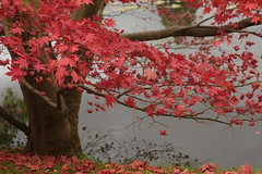 Red Autumn (Henry Hemming) Tags: sheffield park garden autumn england national trust sussex tree lake acertree redautumn vibrantautumn autumnleaves fall leaves vibrant red color colour