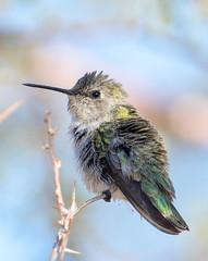 Anna's Hummingbird (Ed Sivon) Tags: america canon nature lasvegas wildlife western wild southwest desert clarkcounty vegas flickr bird henderson nevada preserve