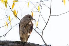 ''Le jeune!'' Bihoreau gris-Night-heron (pascaleforest) Tags: canada quebec faune wildlife wild nature nikon passion animal bird oiseau