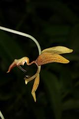 Gongora gratulabunda 2019-10-06 01 (JVinOZ) Tags: orchid orchidspecies gongora