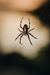 Patient (Klas-Herman Lundgren) Tags: sweden sverige dalarna gagnef gimmen forest skog hšst autumn nature photograpy natur spindel spider web spindelnšt korsspindel dalarnaslšn höst spindelnät