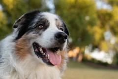 Just enjoying life (Jasper's Human) Tags: aussie australianshepherd dog grass