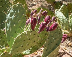 Zion National Park-06753 (gsegelken) Tags: gary lorrie patty prickleypear springdale usa utah zionnationalpark