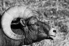Experimenting with a little grunge treatment on the photos. (bryce yamashita) Tags: bighorn bighornsheep colorado d500 denver nature nikon sheep waterton watertoncanyon wildlife yamashita