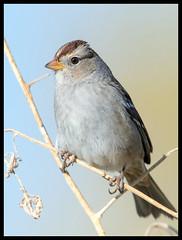 White-Crowond Sparrow (Ed Sivon) Tags: america canon nature lasvegas wildlife western wild southwest desert clarkcounty vegas flickr bird henderson nevada
