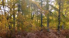 New Forest NP, Hampshire, UK (east med wanderer) Tags: hampshire england newforestnp nationalpark trees bracken autumn pines beech silverbirch