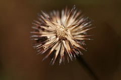 Pink Coneflower Seeds (Sandra Mahle) Tags: pinkconeflower coneflowerseeds naturephotography nature canonphotography canon seeds plant macro coneflower november brown ngysa