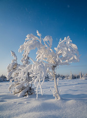 November sun (Fjällkantsbon) Tags: lappland blaikfjälletsnaturreservat evamårtensson brännåker sverige västerbottenslän lapland winterlight snow sun winter