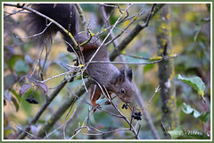 Ecureuil 191109-01-P (paul.vetter) Tags: écureuil mammifère sciuridé squirrel eichhörnchen ardilla