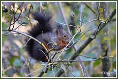 Ecureuil 191109-02-P (paul.vetter) Tags: écureuil mammifère sciuridé squirrel eichhörnchen ardilla