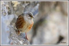 Accenteur alpin 191112-01-P (paul.vetter) Tags: oiseau nature faune accenteuralpin alpineaccentor acentoralpino ferreirinhaserrana alpenbraunelle prunellacollaris prunellidé