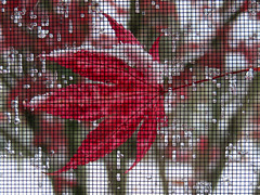 Nature's Wintry Needlepoint (kfocean01) Tags: fall autumn winter snow ice leaves leaf nature macro red color abstract artsy
