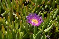 Mittagsblume (Carpobrotus acinaciformis); Marokko (100) (Chironius) Tags: agadir caryophyllales nelkenartige rosa blüte blossom flower fleur flor fiore blüten цветок цветение almamlakaalmaghribīya königreichmarokko tagelditnelmaɣrib