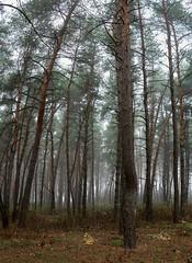 2019-10-26_10-52-22_005 (basma4ru) Tags: russia volokonovka pines fog mist sony a6000 ilce6000 sigma 30mm