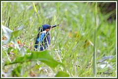 Martin-Pêcheur 1011010-06-P (paul.vetter) Tags: nature faune oiseau vogel bird martinpêcheur alcedoatthis commonkingfisher martínpescadorcomún guardarios eisvogel alcédinidé