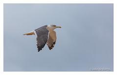 Beach patrol (Joao de Barros) Tags: joão barros seagull fly bird wild