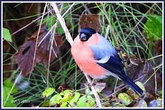 Bouvreuil pivoine 191110-06 (paul.vetter) Tags: oiseau faune avifaune animal pyrrhulapyrrhula bouvreuilpivoine eurasianbullfinch camachuelocomún domfafe gimpelfringillidés