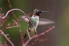 Wet Anna's (Dave In Oregon) Tags: annashummingbird bird calypteanna nature rain oregon rainieroregon