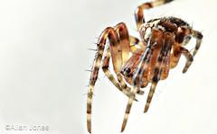 The Predator (Allan Jones Photographer) Tags: spider arachnid spidermacro macrox3ofspider predator thepredator 8legged eightlegged 8eyes web thread hairy nature allanjonesphotographer canonmpe65mmf2815xmacro
