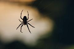 The Spider (Klas-Herman Lundgren) Tags: sweden sverige dalarna gagnef gimmen forest skog hšst autumn nature photograpy natur spindel spider web spindelnšt dalarnaslšn höst spindelnät