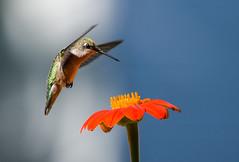 0P7A4907  Ruby-throated Hummingbird, Canada (ashahmtl) Tags: rubythroatedhummingbird bird hummingbird archilochuscolubris ourbackyard pointeclaire quebec canada