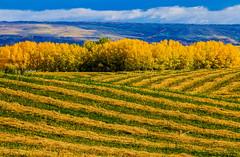You Never Know Till You Go (stevenbulman44) Tags: autumn fall color landscape lines calgary alberta harvest farmland tree sky cloud canon tripod 70200f28l filter polarizer field outdoor
