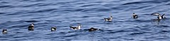 Cory's Shearwater  (Calonectris diomedea) 09-29-2018 pelagic, Worcester Co. MD 3 9.50 (Birder20714) Tags: birds maryland tubenoses procellariidae corys shearwater calonectris diomedea