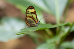 Butterfly (deepskywim) Tags: vlinders dieren sanignacio itapúa paraguay
