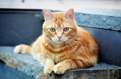 Spritz ♥ (En memoria de Zarpazos, mi valiente y mimoso tigre) Tags: cat kitten ginger orangetabby red greeneyes posing micio gatto gato arancione naranja posando feline mycat ilovemycat migato spritzeddu spritz