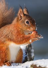 Squirrel (waynehavenhand1) Tags: canonphotography sciurus vulgaris animalportrait wildlifephotography naturephotography redsquirrel avimore highlands scotland nut red photography animal squirrels squirrel