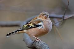 Зяблик, Fringilla coelebs coelebs, Chaffinch (Oleg Nomad) Tags: зяблик fringillacoelebscoelebs chaffinch птицы москва bird aves moscow