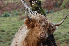 Highland cow scratching itself (ejwwest) Tags: