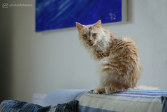 chilli 11.11.2019 (photos4dreams) Tags: misschillipepper photos4dreams photos4dreamz p4d photos chilli photo pics mainecoon female cat ginger red rot fluffy katze canoneos5dmark3 canoneos5dmarkiii