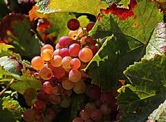 Grapes! (Jorge Cardim) Tags: grapes uvas cores luz colors light fruta fruit foto image cardim jorge