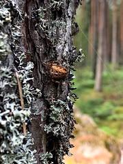Spindelbett (erikos123) Tags: summer spider forrest skog spindel sommar pine tall