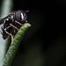 Black Hoverfly/Schwarze Schwebfliege [Diptera]