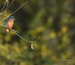 Photo of Female Kingfisher up a tree