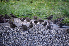 Sparrows 12.11.2019 (tabbynera) Tags: sparrows