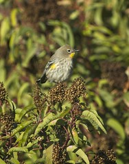 Yellow-rumped Warbler (christopheradler) Tags: california yellowrumped warbler setophaga coronata