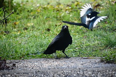 Magpie and Crow 12.11 (1) (tabbynera) Tags: magpie crow