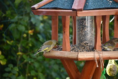 Green Finch 12.11 (17) (tabbynera) Tags: greenfinch