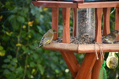 Green Finch 12.11 (16) (tabbynera) Tags: greenfinch