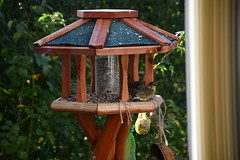 Green Finch 12.11 (8) (tabbynera) Tags: greenfinch